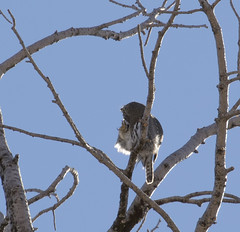 An itch you just can't scratch (Jonathan Creel) Tags: glaucidiumgnoma northerpygmyowl owl bird losalamos newmexico