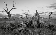 What Once Were (Jchales.co.uk) Tags: oak tree trees petrified forest oaks remains what once were essex mundon chelmsford black white bw blackandwhite canon 5d mkiii 2470isii
