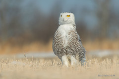 Attention please... (Earl Reinink) Tags: bird animal wildlife raptor predator outside outdoors sky light winter earl reinink earlreinink nature photography photo eyes snowyowl pose attention hdhdeaadza
