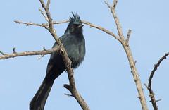 Phainopepla -- Male (Phainopepla nitens); Catalina, AZ, [Lou Feltz] (deserttoad) Tags: nature animal bird wildbird wildlife flycatcher tree desert arizona clouds silhouette