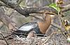 CAE008854a (jerryoldenettel) Tags: 180119 2018 anhinga anhingaanhinga anhingidae collierco corkscrewswampsanctuary fl monocots suliformes bird
