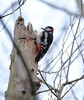 Colin the Woodpecker (Barry Miller _ Bazz) Tags: woodpecker widnes wildlife nature canon 5dsr sigma lens