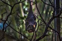 Bat (shottwokill) Tags: animals bat hanging nikon d80 nikkor 28300