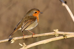 Robin (Karen Roe) Tags: santondownham village forestheath thetfordforest suffolk county england britain uk unitedkingdom greatbritain gb canoneos760d canon 760d 150600mm sigma contemporary zoom wildlife january 2018 peaceful quiet tranquil outside winter weather season camera photography photograph photographer picture image snap shot photo karenroe female flickr visit visitor river little ouse riverlittleouse handheld hand held wild