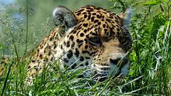 Stalker (Obelus2000) Tags: jaguar cat cats carnivore bigcats