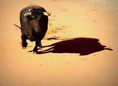 el toro y la sombra (aficion2012) Tags: istres france francia ponce enrique toros taureaux bull bullfight toro corrida tauromachie tauromaquia ombre shadow sombra animal fauna arena