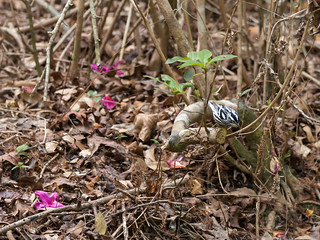 My first spotting of a Black and White Warbler at Ravine Gardens State Park in Palatka, FL.