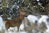 Cerf dans la neige (Patrice Baud) Tags: nikon d7100 300mm deer reddeer cerf cervus hirsch cerdagne montagne forêt neige