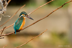 Our idol of the stream nearby (Otterhaus) Tags: japan bird wildbird commonkingfisher alcedoatthis sigma50500 カワセミ 翡翠