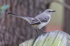 Backyard Visitor (norasphotos4u) Tags: canon5dmkiv canonef100400f4556iiusm social flickr mockingbird ©noraleonard birds