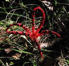 Clathrus archeri (zeke1944) Tags: clathrus clathrusarcheri phallaceae arfp vrfp cooltemperatearf arffungi redarffungi
