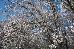 DSC_1191 (rskim119) Tags: fresno fruit tree blossom flower trail spring