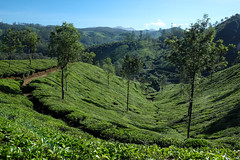 Tea plantations, Munnar, India (luana.ontheroad) Tags: outdoors hiking travel plantation tea munnar kerala india indiadelsud southindia