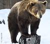 Jake being a circus bear (V. C. Wald) Tags: tamronsp150600f563divcusdg2 montanagrizzlyencounter bozemanmontana grizzlybear ursusarctoshorribilis wildlifesanctuary