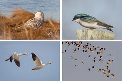 Changing Seasons (tresed47) Tags: 2018 201802feb 20180228bombayhookbirds avocet birds bombayhook canadagoose canon7d content delaware ebforsythenwr february folder goose mosaic newjersey owl peterscamera petersphotos places season shorebirds snowyowl swallow takenby technical treeswallow us winter