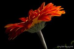 Orange from the Side (Greg B Photography) Tags: onblack gerbera gerber daisy floral flower orange sb600 speedlight offcamera