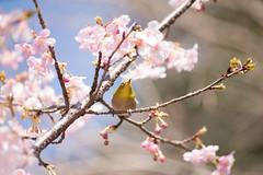 _DSC0780.jpg (plasticskin2001) Tags: mejiro sakura flower bird