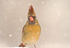 Looking through a snowstorm (LastBestPlace) Tags: northerncardinal female snowstorm wisconsin janekaufman