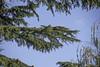 Pinhos natalinos (eliseteshiraishi) Tags: abeto agulhas agulhasdepinheiro conedeconíferas conesdepólen conífera evergreen famíliadagrama famíliadepalmeiras famíliapinho florestadeconíferastemperada galhodepinho japan landscape lariço macro madeiramacia noperson pervinca plantadeflorescência plantadeterra plantalenhosa sãoescalas arbusto arvore botânica colorful daytime decoração decoraçãodenatal flor flora folha galho galhos madeira nature natureza outdoor pinha pinhanatalina pinhas pinheiro pinho plantar produzir raminho ramo ramodepinho ramos silvicultura toque trees árvore árvores nagoyashi aichiken japão gettyimagesjapan gettyjapan gettyimage gettyimages sky getty tsuruma céu leaves aichiprefecture turismolocal tranquilscene serenity tsurumaipark postcard nagoya colorsofautumn