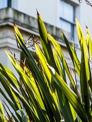 P2174145 (Geza (aka Wilsing)) Tags: natureycrap plant green pointed