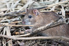 Brown rat (Shane Jones) Tags: brownrat rat mammal animal wildlife nature nikon d500 500mmf4