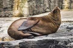 Sealion enjoying alone 😊 (@abriendomundo) Tags: fantasticnature naturelovers naturaleza amazingnature atacamawildlife wildlife chilewildlife faunachilena faunadechile fauna sudamerica southamerica abriendomundo canoneos5dmarkiv chañaraldeaceituno chañaralisland puntadechoros canon200mmf28 sealion lobomarino funny