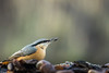 Sittelle torchepot (Quentin Douchet) Tags: eurasiannuthatch faune nature sittaeuropaea sittelletorchepot animal bird bokeh fauna oiseau ngc