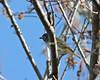 Blue-headed Vireo (Vireo solitarius) (Mary Keim) Tags: taxonomy:binomial=vireosolitarius centralflorida marykeim orlandowetlandspark