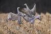 Clash (J Gilbert) Tags: antigonecanadensis sandhillcrane grueducanada sandhill crane bird corn field manville somerset newjersey