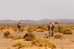 Camels grazing (Nicolas Bussieres (Lost Geckos)) Tags: desert sahara morocco camel