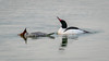Common Mergansers (Bob Gunderson) Tags: birds california commonmerganser divingducks ducks lasgallinas marincounty mergansers mergusmerganser northbay northerncalifornia