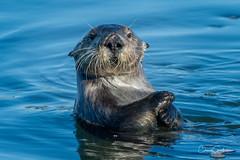 Someone say supper?!? (craig goettsch) Tags: jettyroad blue otter seaotter mammal california wildlife nature animal critter ocean nikon d500 600mm specanimal
