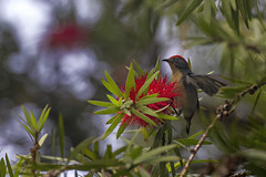 Flamebacked flowerpecker (drajib) Tags: flamebacked flowerpecker bird honey bottlebrush foggy morning