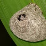 Paper Wasp Nest (Polistes ? sp.) thumbnail