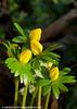 Aconites 1 (margaretc1946) Tags: aconite wildflower gloucestershire pentaxk3 tamron90mmf28macrolens