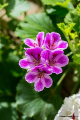 Geranio común (Pelargonium) (moligardf) Tags: flores patio patios de córdoba cultivada flora vegetación tamron 70300mm