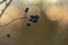 Golden hour. (agnieszka.a.morawska) Tags: blackfruits dof goldenhour beyondbokeh bokehlicious bokeh oldlens manuallens helios44m helios44 helios nature
