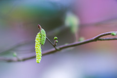 Catkins (Dhina A) Tags: sony a7rii ilce7rm2 a7r2 135mm f28 t45 stf sony135mmf28stf sal135f28 smoothtransitionfocus minolta smooth soft silky bokeh bokehlicious apodization catkins
