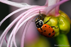 4-watermark (Brian M Hale) Tags: ladybug yongnuo macro flash insect close up closeup flower orangerie tower hill botanic botanical garden boylston ma mass massachusetts newengland new england indoors tamron2x tamron 2x teleconverter tc brian hale brianhalephoto