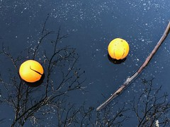Still Life of Cast-off Oranges in A Puddle (Jill Clardy) Tags: rain puddle redwood city reflections reflected oranges castoff garbage foundfruit thingsthatdontbelong tree branches stick water pacman fruit 365the2018edition 3652018 day35365 04feb18