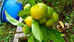 Mandarins (Sandy Austin) Tags: sandyaustin massey panasoniclumixdmcfz70 westauckland auckland northisland newzealand mandarin citrus fruit mygarden