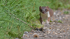 Running Stoat (KHR Images) Tags: stoat mustelaerminea wild carnivorous mammal running jumping lakenheath fen rspb suffolk mustelid wildlife nature nikon d500 kevinrobson khrimages
