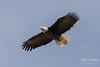 Female Bald Eagle soars with ease (TonysTakes) Tags: eagle baldeagle raptor bird colorado northglenn thornton wildlife coloradowildlife weldcounty