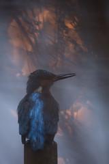 Urban Kingfisher (Daniel Trim) Tags: alcedo atthis common kingfisher urban nature animals wildlife bird birds birding city town hertfordshire