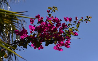 Bougainvillea (Bougainvillea Kultivar); Luz (Lagos), Algarve (11)