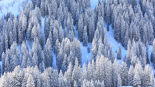 Snow covered fir forest