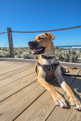 Doggie's First Day at the Beach (DLIFLC PAO) Tags: ansilomarstatebeach ca dliflc defenselanguageinstituteforeignlanguagecenter dog dogonbeach lingo mascot militarydog montereypeninsula pacificgrove presidioofmonterey usarmy