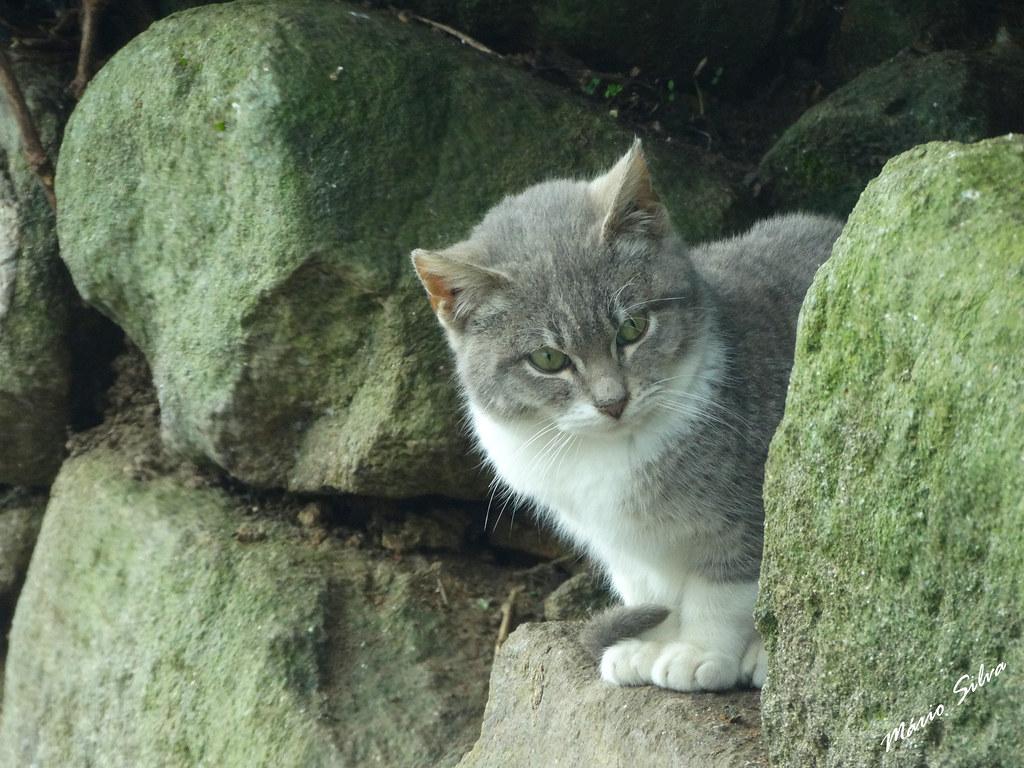 Águas Frias (Chaves) - ... gato espreitando entre as pedras esverdeadas pelo tempo ...