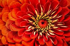 Zinnia-Macro 3-0 F LR 8-9-17 J347 (sunspotimages) Tags: flower flowers zinnias zinnia redzinnia redzinnias orange red redflower redflowers orangeflowers orangeflower orangezinnias orangezinnia nature