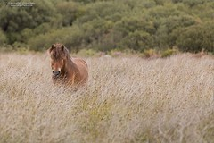 Why the long face? (Ian Garfield - thanks for over 2 million views!) Tags: canon cornwall ian garfield photography south west coast cornish horse lizard point field long grass